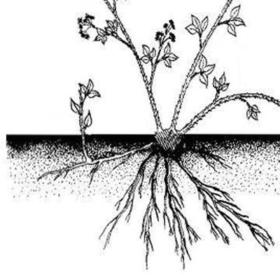 Размножение корневыми отпрысками