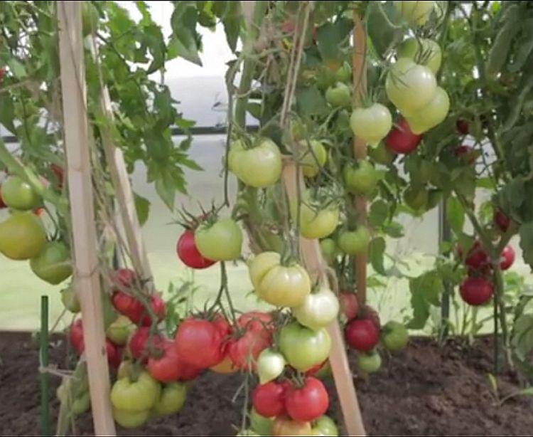 Обильное плодоношение томатов Малиновая империя