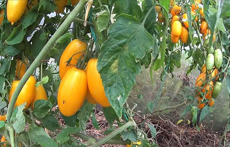 обильное плодоношение томатов Банановые ноги