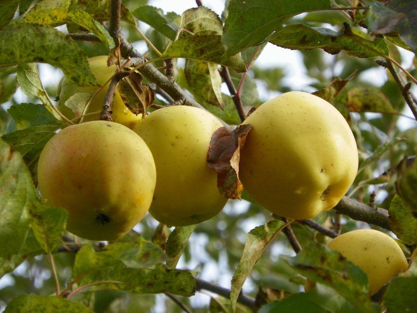 Описание яблок Голден Делишес, польза и вред сорта, калорийность