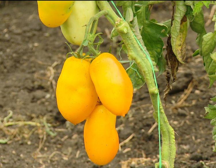томат сорта Перцевидный желтый