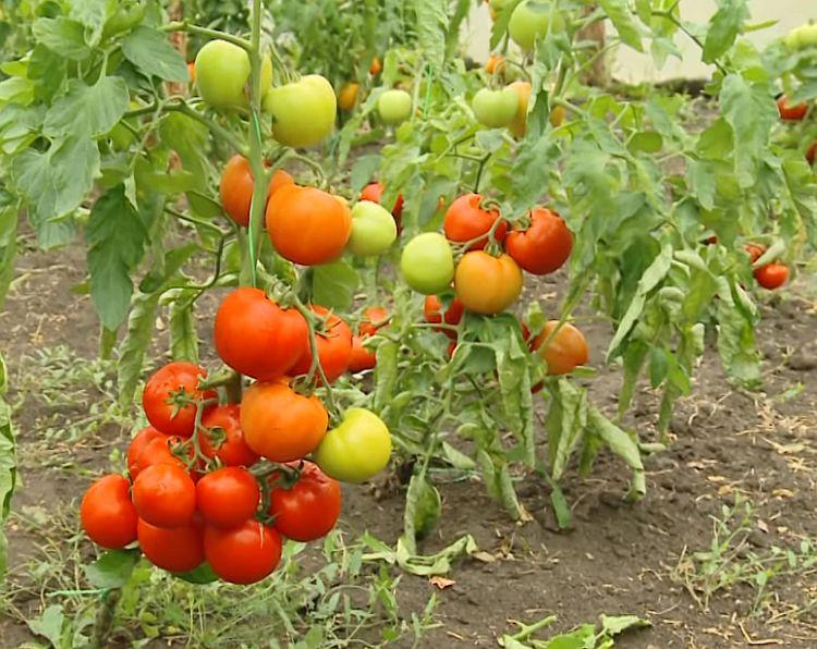 помидоры Снегопад