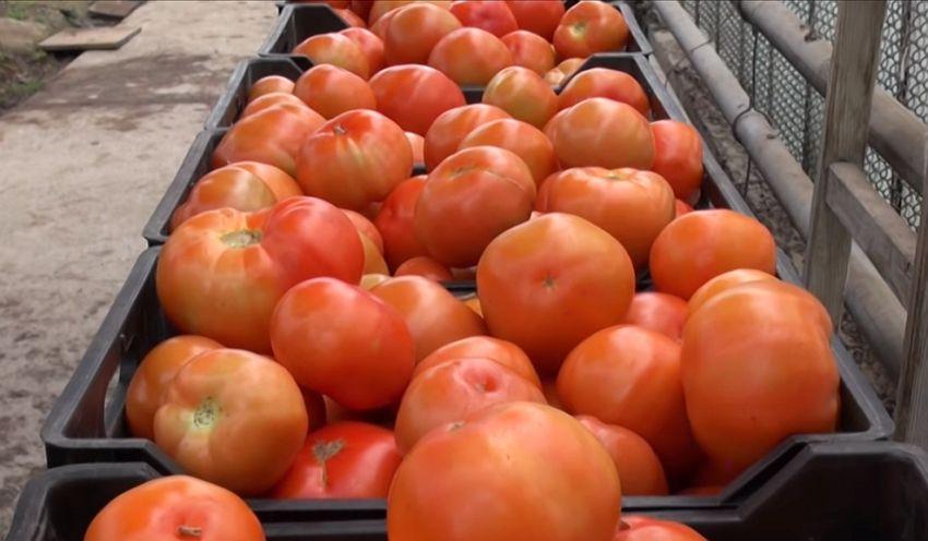 крупные помидоры Панекра