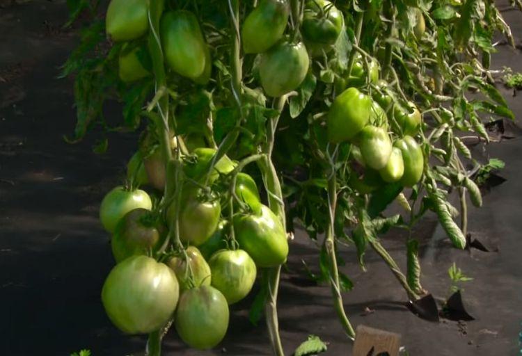 томат княгиня фото отзывы