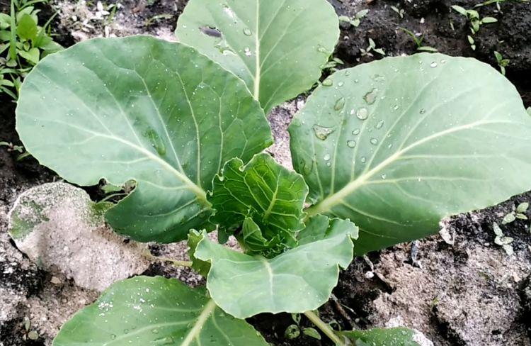 Как подкормить капусту и обработать от вредителей золой