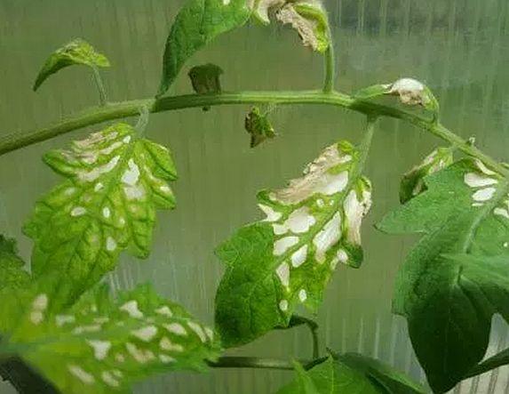 Почему на рассаде помидор появились белые пятна