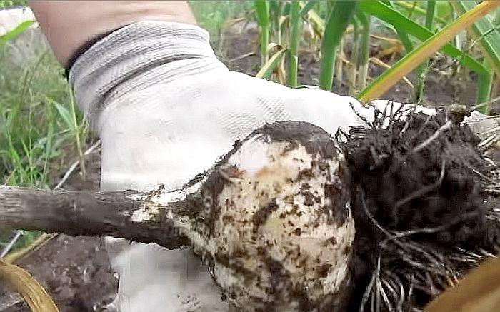 Когда выкапывать чеснок посаженный под зиму: сроки уборки
