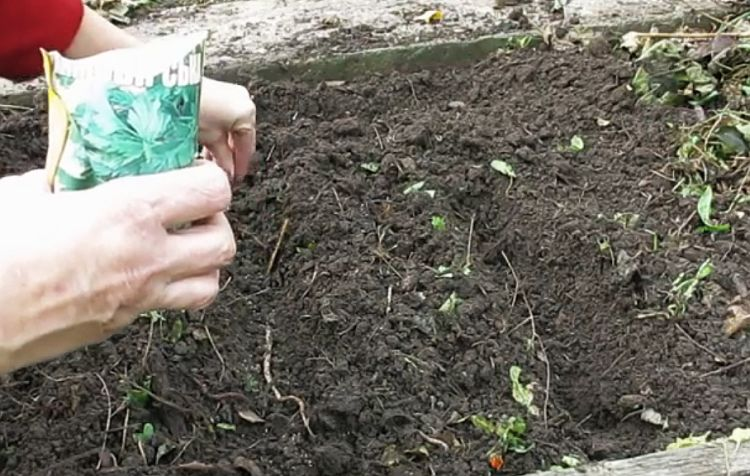 Особенности подзимнего посева петрушки