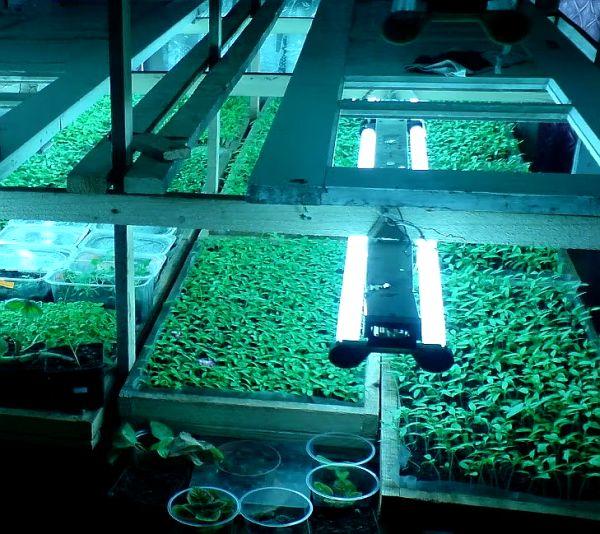 Освещение для помидорной рассады