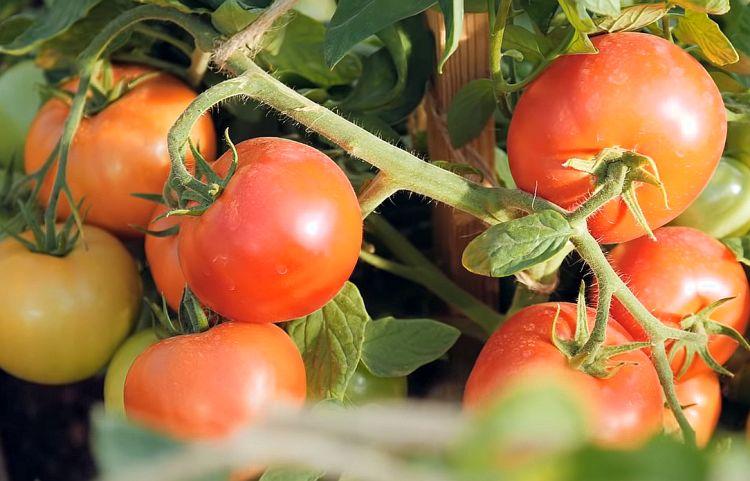 Красивые плоды гибрида Верочка
