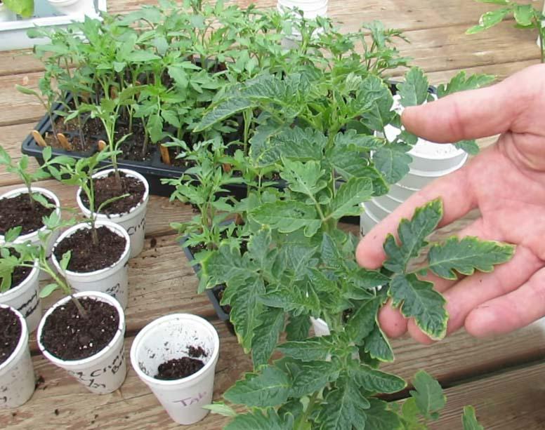 Ошибки выращивания рассады помидор сохнут листья