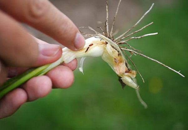 Средство от луковой мухи методы борьбы химикаты