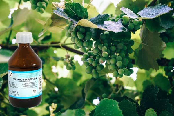 Обработка винограда перекисью водорода правила применения и опрыскивания